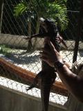 2 foot Everglades alligator who peed on me