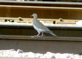 Possible breeding White-winged Doves TN
