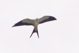 East TN Swallow-tailed Kites