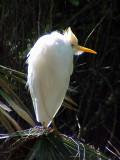 Cattle Egret - Dauphin Is.
