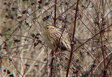 Birds and Grasses in the Mid-South