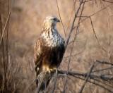 Rough-legged Hawks - winter 2007-2008