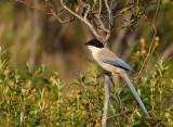 Blauwe Ekster - Azure-winged Magpie