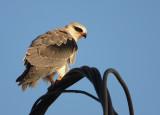 Grijze Wouw - Black-shouldered Kite