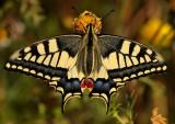Koninginnepage - Swallowtail