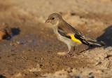 Putter - Goldfinch