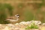 Kleine Plevier - Little Ringed Plover
