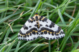 A Magpie Moth