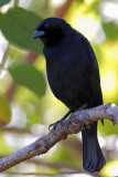 Shiny Cowbird male (Tordo Lustroso)