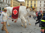 Oxen in Easter bonnet,Florence