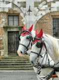 Dressed up horses, Lucca