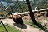 A real live bear in the Barenpark