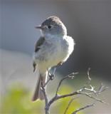 3382 Hammond's Flycatcher