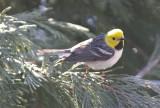 3504  Hermit Warbler