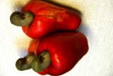 Cashew Fruit and Nuts (Anacardium occidentale)