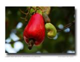 Cashew Fruit and Nut (Anacardium occidentale)