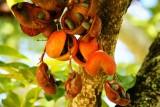 Unknown fruit