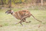 North Texas Irish Wolfhound Club Picnic 2011