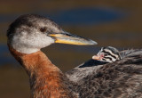 Glorious Grebes