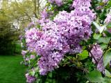 Lilacs ~ April 26th