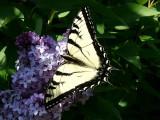 Swallowtail ~ April 29th