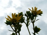 Scrubby Butterweed ~ August 5th