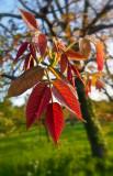 young walnut leaf tips