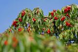 the old cherry tree