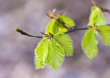 tender new leaves