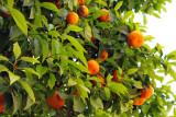 orange trees everywhere in Sevilla