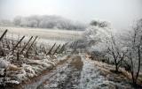 frozen vineyard.