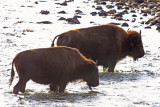 The Animals of Yellowstone and Grand Teton Ntl. Parks