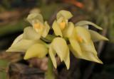 Bulbophyllum capitatum. Close-up.