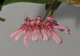 Bulbophyllum longiflorum (B. eberhardtii).