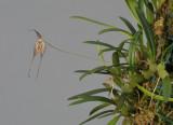 Bulbophyllum triaristella. (B. intersitum).