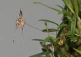 Bulbophyllum triaristella (B. intersitum).