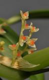 Bulbophyllum savaiense subsp. subcubicum. Close-up.