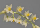 Pholidota cantonesis. Close-up.