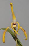 Maxillaria triloris.