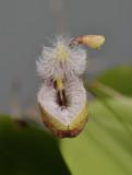 Pleurothallis cypripedioides. Close-up front.