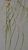 Schoenorchis juncifolia.