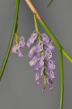 Schoenorchis juncifolia. Closer.