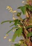 Bulbophyllum cylindrobulbum