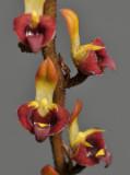 Bulbophyllum falcatum var. velutinum. (B. simonii). Close-up.