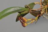 Bulbophyllum spathulatum.
