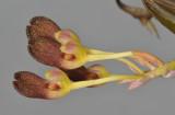 Bulbophyllum spathulatum. Close-up.