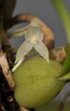 Bulbophyllum simplex. Close-up.
