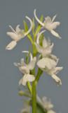 Dactylorhiza romana. Pale.