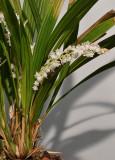 Pholidota sulcata.