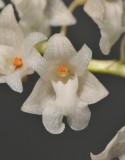 Pholidota sulcata. Close-up.